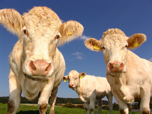 tři krávy