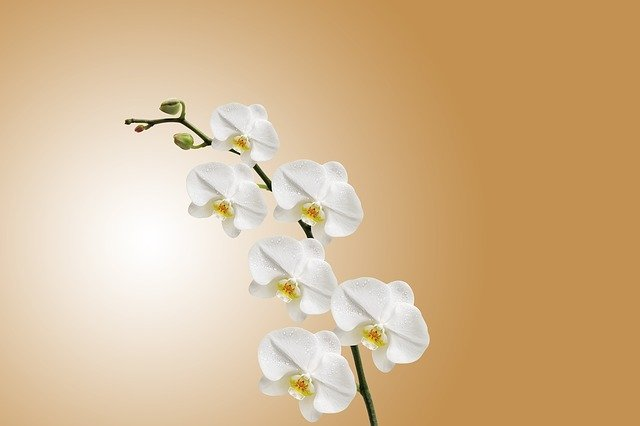 květy, bílá orchidej